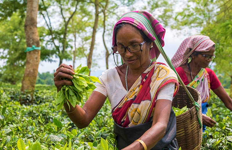 Two ladies wearing spectacles picking tea on a plantation in India